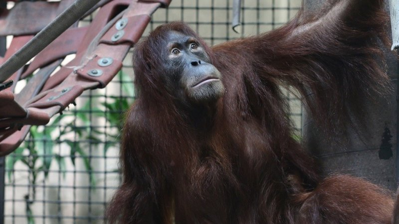 The orangutan, Tao, arrived at the Sedgwick County Zoo in September 2016.