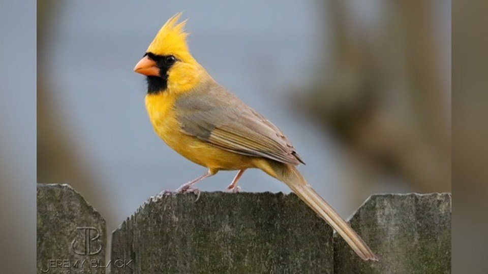 'One in a million' yellow cardinal spotted in Alabama