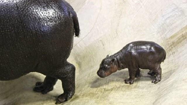 Tanganyika Wildlife Park welcomes pygmy hippo
