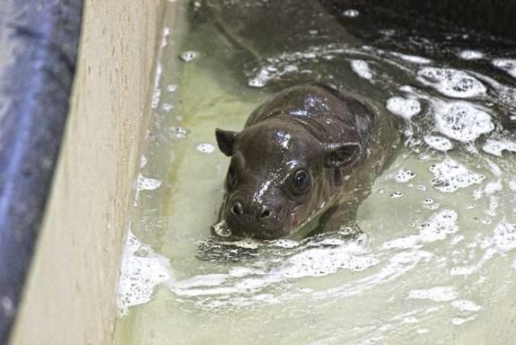 Tanganyika Wildlife Park welcomes pygmy hippo - KTEN com - Texoma