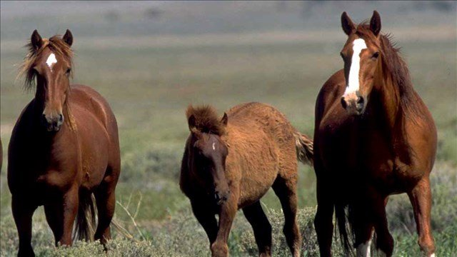 Federal government wants to give you $1,000 to adopt a wild horse