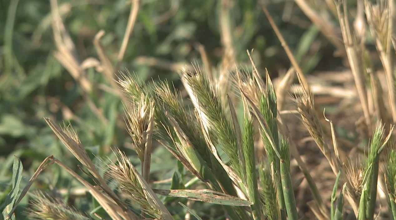 Grass awns pose danger for dogs