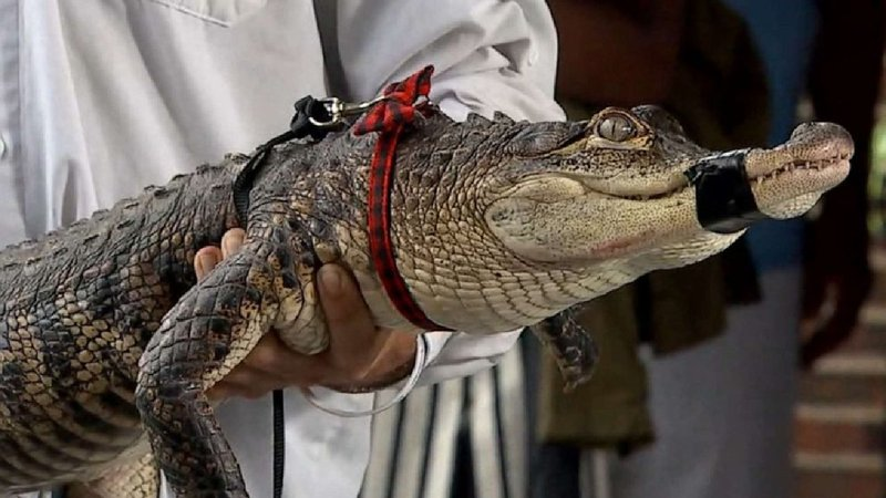 Chance The Snapper was shown to reporters on July 16, 2019, after the alligator was captured in Chicago's Humboldt Park. (ABC News)