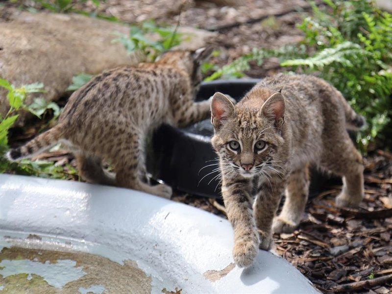 The Kansas Wildlife Exhibit in Wichita is currently raising 2 bobcat kittens and will keep one.