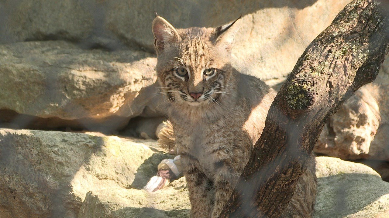 Wildlife exhibit in Wichita names new bobcat: Rufus
