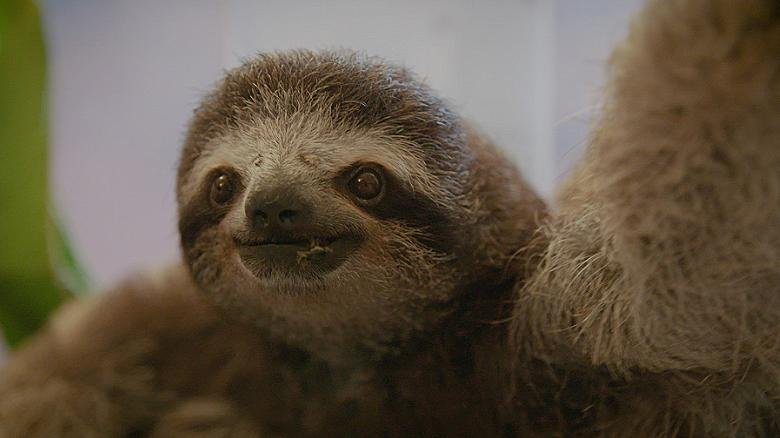 A happy sloth, doing what sloths do...