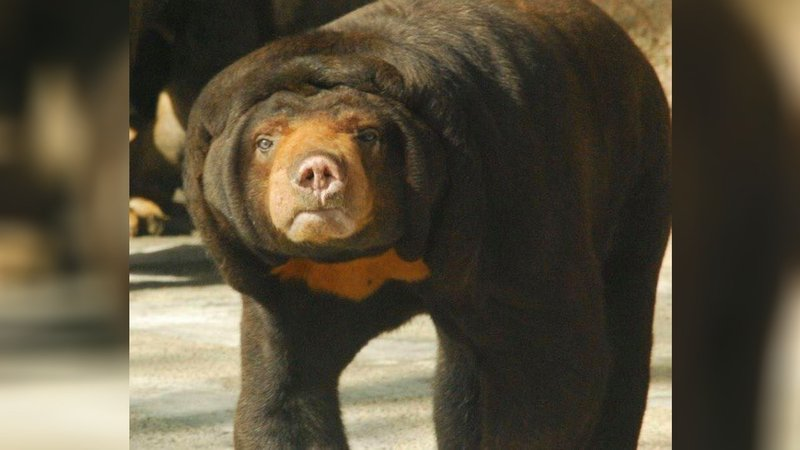Cupcake the bear (Facebook: Topeka Zoo)