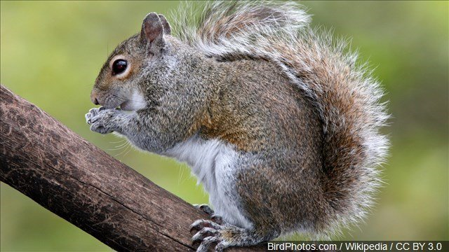 File photo, Eastern Grey Squirrel, MGN Online