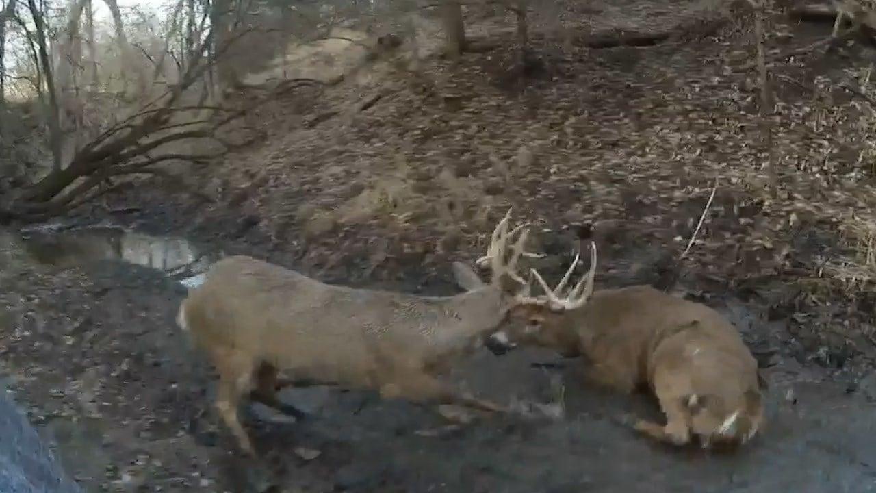 Kansas game warden frees tangled deer by shooting their antlers apart