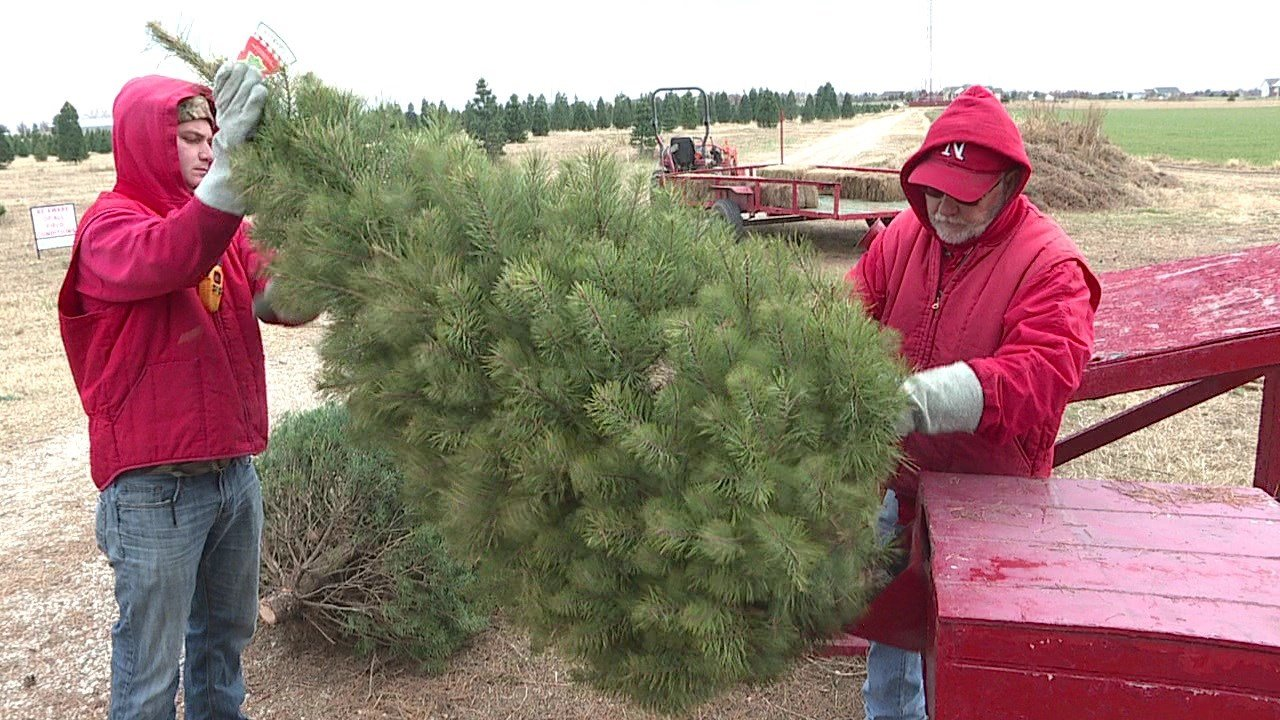 Local Christmas tree farms booming this year