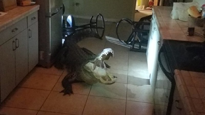 Woman wakes up to 11-foot gator in her home